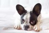 Як визначити тічку у собак? Початок, кінець, тривалість
