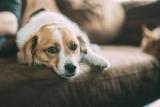 Чому ж скиглить собака: можливі причини
