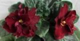 Фиолетовый, Черный принц: описание, фото, разведение, выращивание и уход