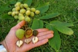 Орех Символизирует: фото, описание, посадка, особенности и условия выращивания и уход