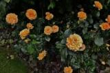 Amber rose Queen: особенности агротехники и посадки