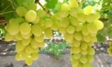 Виноград Дарья: описание классов (фото)